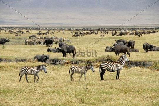 Common zebra, Plains zebra or Burchell´s zebra (Equus quagga), three zebras, mare with two foals, Blue Wildebeest or Common Wildebeest (Connochaetes taurinus), herds standing on dry grasslands, Ng