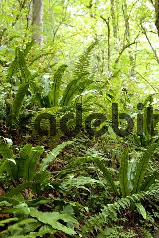 Various species of ferns growing on light flooded forest floor