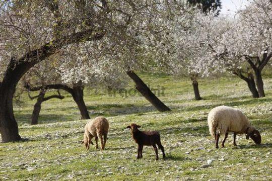 Lamb and sheep, blossoming Almond (Prunus dulcis) trees, Montuiri, Majorca, Balearic Islands, Spain, Europe