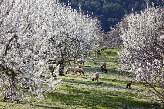 Sheep grazing between blossoming Almond (Prunus dulcis) trees, Montuiri, Majorca, Balearic Islands, Spain, Europe