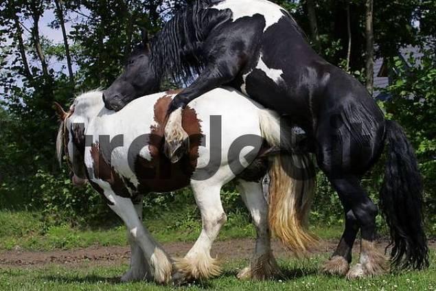 Pferdepaarung - Irish Tinker Hengst paart sich mit Tinker-Stute Equus przewalskii f. caballus