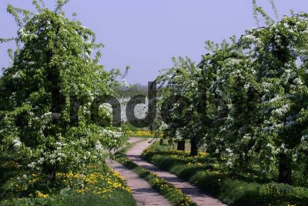 blooming pear trees Pyrus communis and cherry trees Prunus avium in the background - Altes Land, Hamburg, Lower Saxony, Germany, Europe