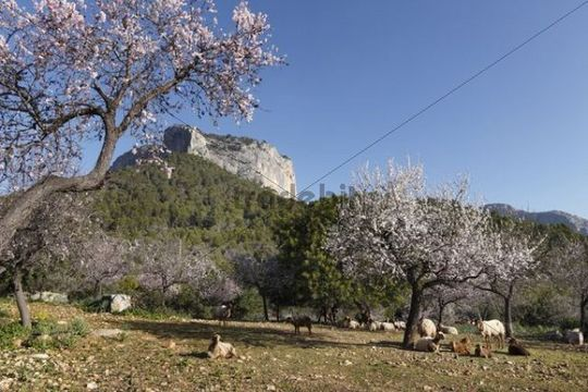 Almond blossom, blooming almond trees (Prunus dulcis) and sheep, Puig de Alaro, Majorca, Mallorca, Balearic Islands, Spain, Europe