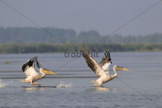 Great white pelicans (Pelecanus onocrotalus), Danube Delta, Murighiol, Romania, Europe