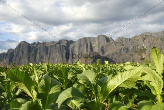 Agriculture, tobacco plants in the field, at Thakhek, Khammuan province, Khammouane, Laos, Southeast Asia, Asia