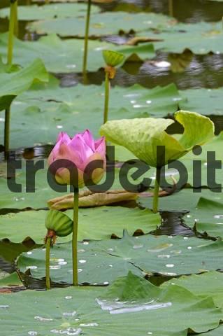 Lotusflower, Nelumbo nucifera, thailand