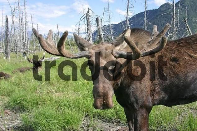 Moose alces alces in the Alaska Wildlife Conservation Center Alaska USA
