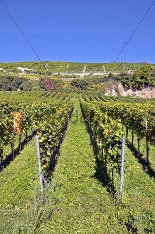 Vineyard in Esslingen am Neckar, Baden-Wuerttemberg, Germany, Europe