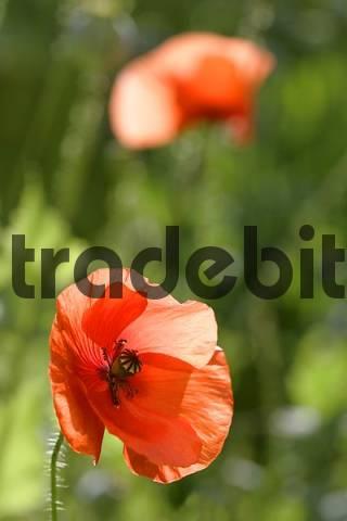poppy seed Austria