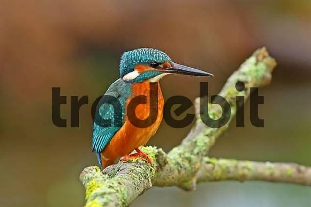 European Kingfisher Common Kingfisher Alcedo atthis
