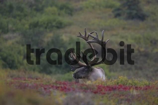 Caribou Rangifer tarandus Denali National Park Alaska USA