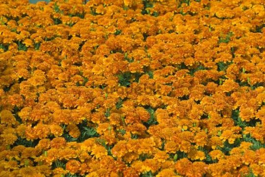 Flowerbed of French Marigolds (Tagetes patula)