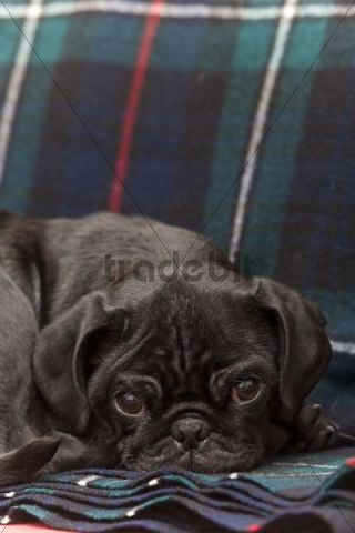 Black pug puppy dozing on a blanket