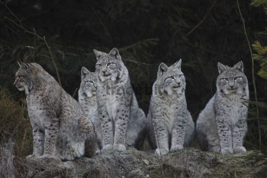 1495 best images about caracal & cat & lynx on Pinterest ... |Lynx Cat Family