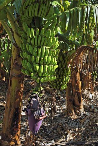 Fei banana (Musa troglodytarum), banana tree in the Valle de Gran Rey Valley, La Gomera, Canary Islands, Spain, Europe