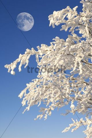 Moon above a Beech (Fagus) with frost and snow, Black Forest, Baden-Wuerttemberg, Germany, Europe