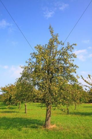 Pears growing on a pear tree, autumn, orchard