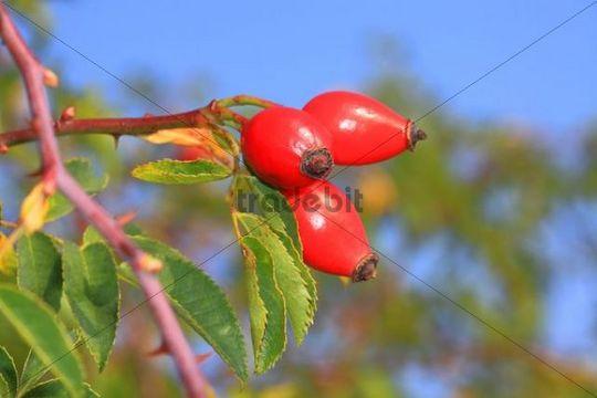 Rose hips, fruits of the wild rose or dog rose (Rosa corymbifera)
