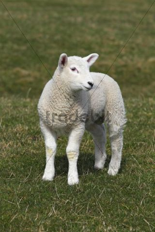 Lamb, Easter lamb, Domestic Sheep (Ovis ammon f. Aries), Schleswig-Holstein, Germany, Europe