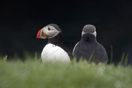 Two puffins (Fratercula arctica), Papey island, Iceland, Europe