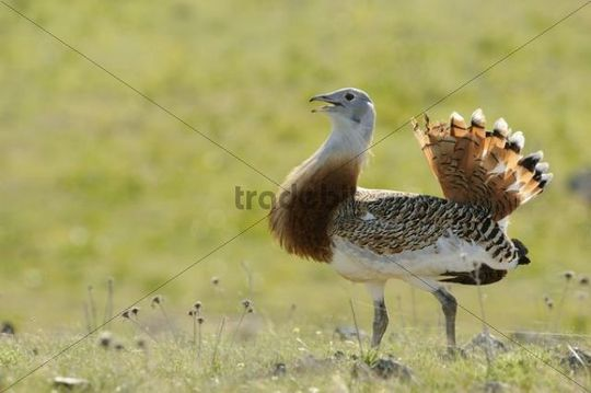 Great Bustard (Otis tarda), male, roaming the steppe of the Extremadura, Spain, Europe