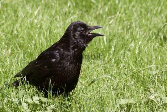 Raven (Corvus corax) in a meadow