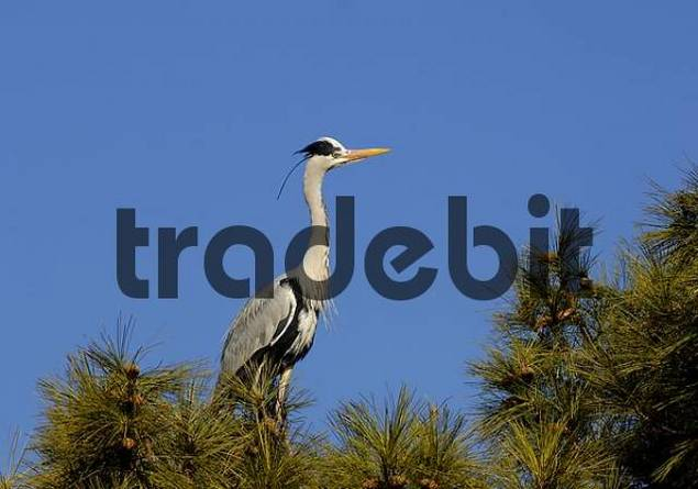 European grey heron Ardea cinerea