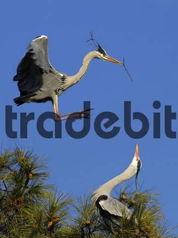 Flying European grey heron Ardea cinerea with nesting material