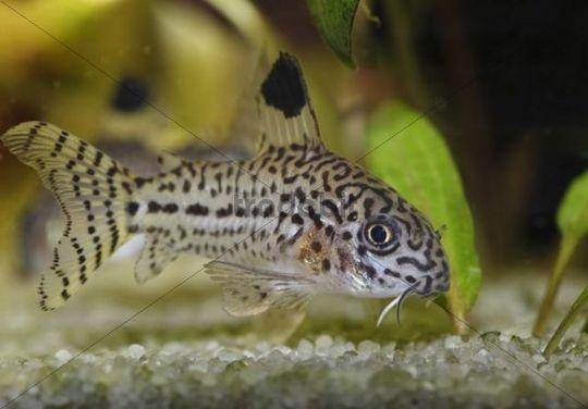 Leopard catfish  Corydoras julii   freshwater aquarium  native to the    Freshwater Aquarium Catfish