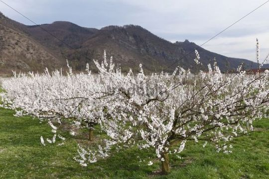 Apricot trees in blossom, flowering apricot trees (Prunus armeniaca), Aggstein castle ruin at the back, Wachau valley, Waldviertel region, Lower Austria, Austria, Europe