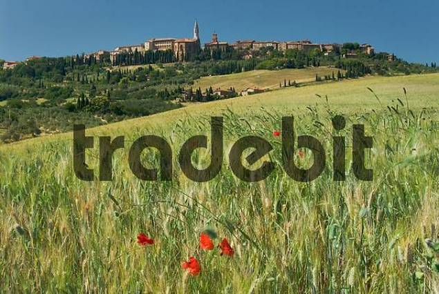 poppy blossoms in a corn field in front of Pienza, Crete, Tuscany, Italy