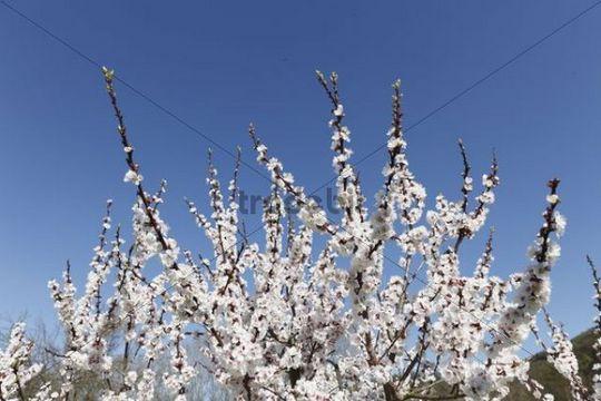 Apricot tree in blossom, flowering apricot tree (Prunus armeniaca), Wachau valley, Lower Austria, Austria, Europe