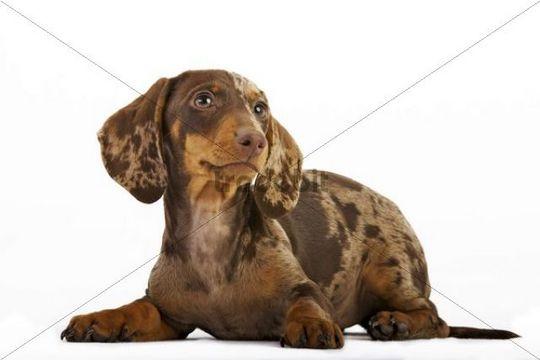 Lying pied short-hair dachshund puppy