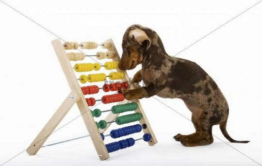 Pied short-hair dachshund puppy playing with a slide rules