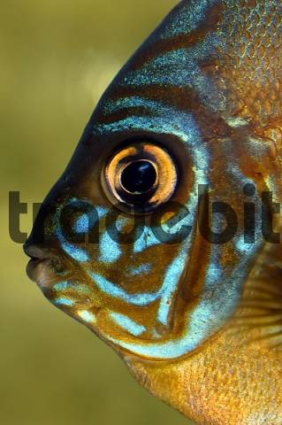 turquoise discus fish symphisodon discus, Amazon, South America