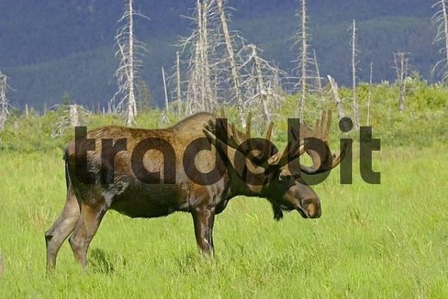 moose Alces alces in an enclosure of the Alaskan Wildlife Conservation Center Alaska USA