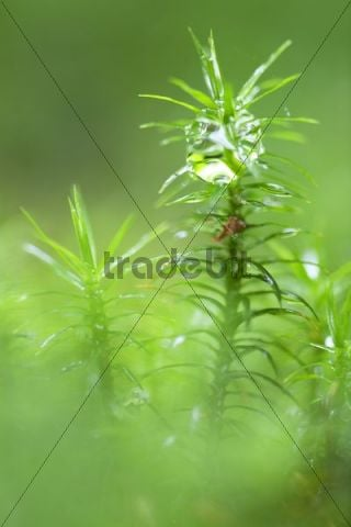 Moss with dewdrops, Nationalpark Bayrischer Wald national park, Bavaria, Germany, Europe