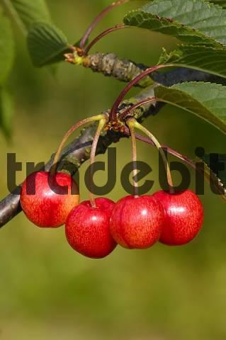 sweet cherry, Büttners Rote Knorpelkirsche