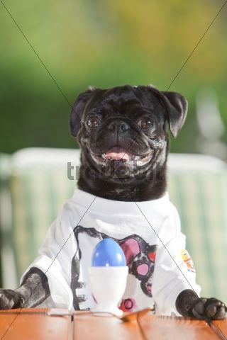 Young black pug wearing a T-shirt, sitting behind an Easter egg