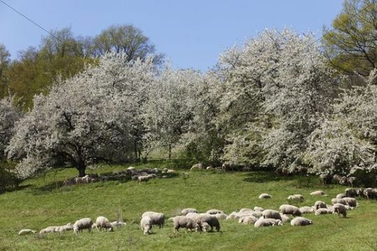 Sheep, cherry trees in blossom, Roedlas, municipality of Neunkirchen am Brand, Franconian Switzerland, Upper Franconia, Franconia, Bavaria, Germany, Europe