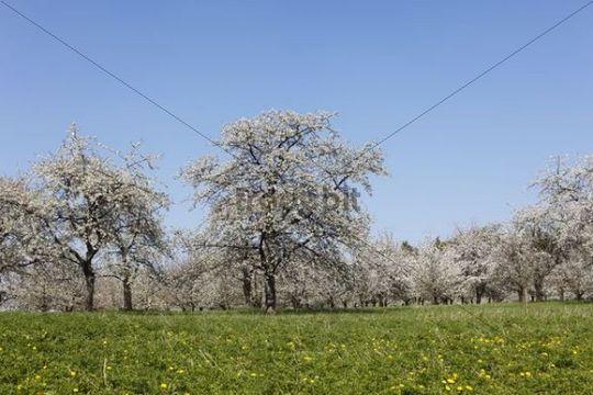 Cherry trees in blossom, Sweet cherry (Prunus avium), Hohenschwarz, Franconian Switzerland, Upper Franconia, Franconia, Bavaria, Germany, Europe