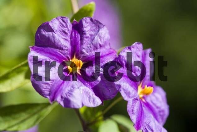 Golden Robe, Solanum Rantonetti, Solanaceae, blossoms, detail of blossoms