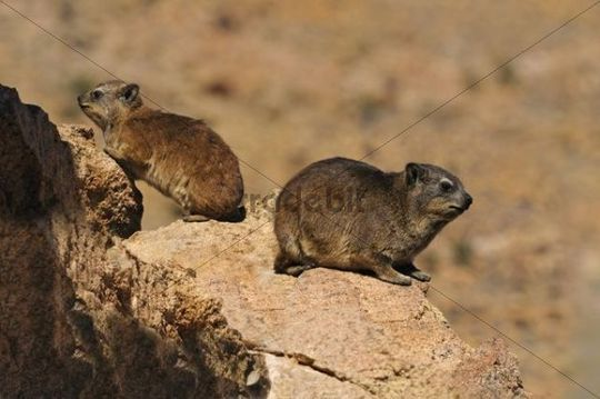 Rock Hyrax or Cape Hyrax (Procavia capensis), mother and cub, Goegap Nature Reserve, Namaqualand, South Africa, Africa