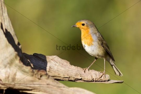Robin (Erithacus rubecula) on a root, Gifhorn, Lower Saxony, Germany, Europe
