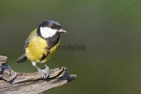 Great Tit (Parus major) on a branch