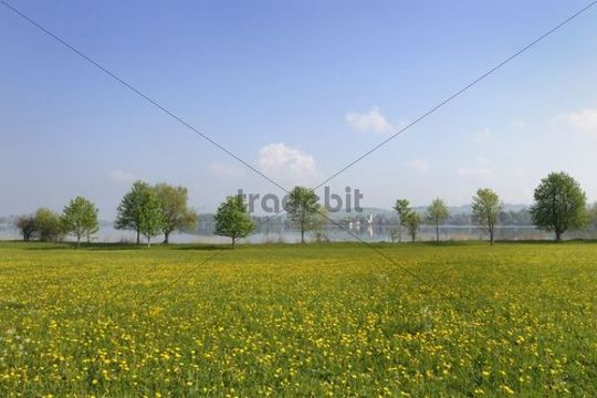 Flower meadow on lake Riegsee, Riegsee village at the back, Upper Bavaria, Bavaria, Germany, Europe