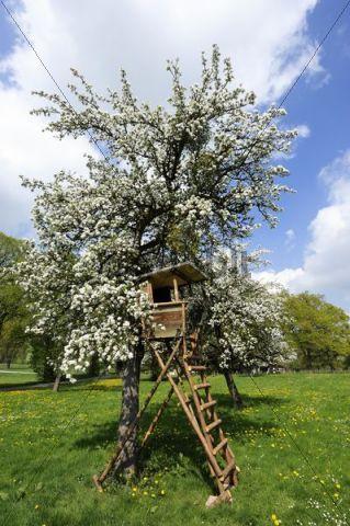 Deerstand on a flowering fruit tree near Hohenberg, Seeshaupt on Lake Starnberg, Upper Bavaria, Bavaria, Germany, Europe