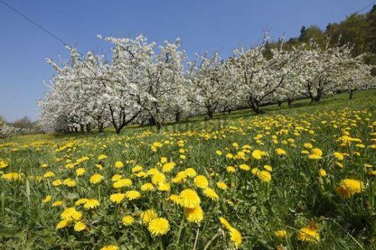 Flowering cherry trees, dandelions, Trubachtal valley, Little Switzerland, Upper Franconia, Franconia, Bavaria, Germany, Europe