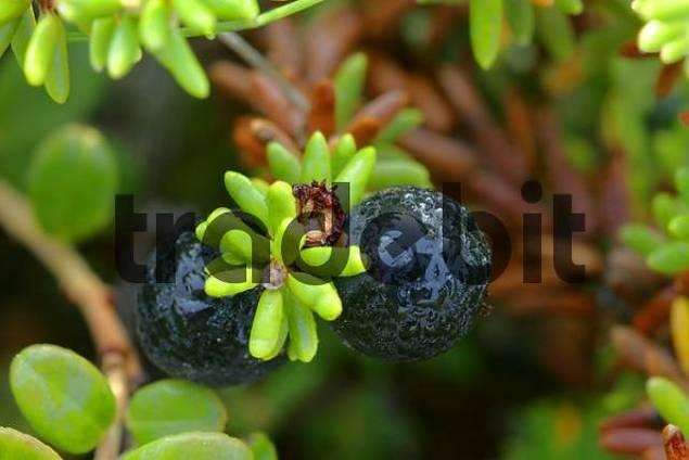 Crowberrry Empetrum nigrum Denali Nationalpark Alaska USA