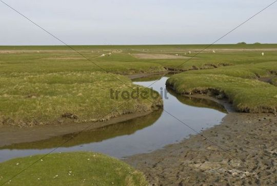 Salt marshes behind the dykes at Westerhever with drainage ditches in front and dyke in the rear, Schleswig-Holstein, Northern Friesland, Germany, Europe